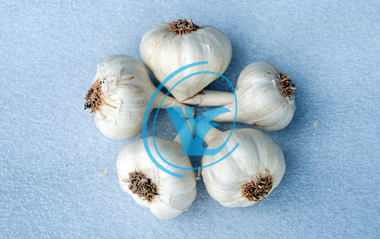 Fresh Garlic : Euro Foods Industries
